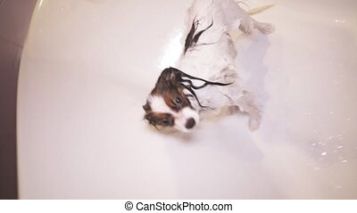 Shampooed Papillon dog is standing in bathroom stock footage...