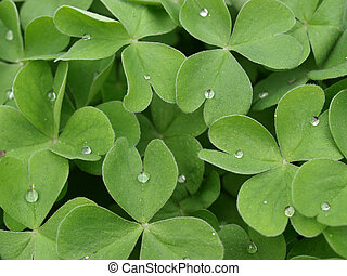 Close up of shamrock clover, symbol of Ireland, with droplets of dew