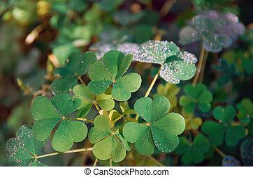 Shamrock green leaves pattern, leaf clover closeup