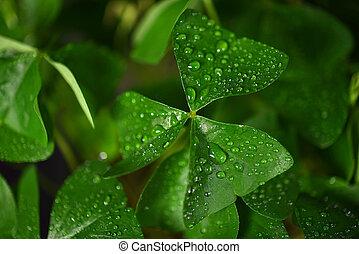 shamrock leaf with droplets