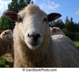 shaow sheep