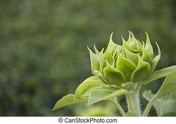 Shape of budding Sunflower