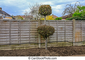 Shaped pruned bay tree in the garden