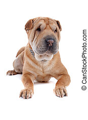 Shar pei dog - Front view of Shar Pei dog lying, isolated on...