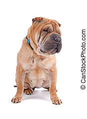 Front view of Shar Pei dog sitting, isolated on a white background