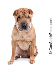 Shar pei dog - Front view of Shar Pei sitting, dog looking...