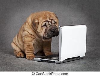 shar-pei, dvd, szczeniak, pies, gracz