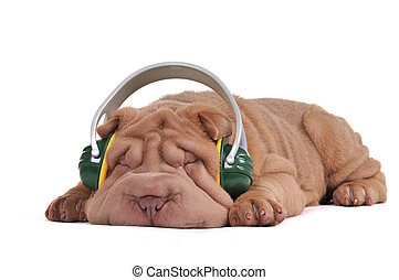 Shar-Pei Music Dreams - Puppy of Shar-Pei is dreaming while...