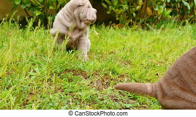 Shar Pei Puppies Playing in the Garden
