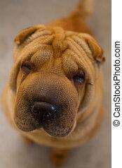 Shar Pei puppy, 5 months old, sitti - Shar Pei beige puppy,...