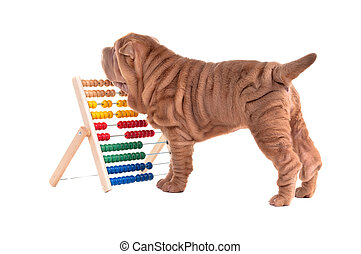 Shar-pei puppy is learning to count with Abacus - Playful...