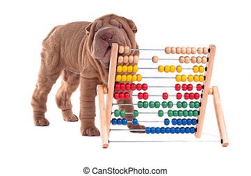 Shar-pei puppy is learning to count with Abacus, isolated on...
