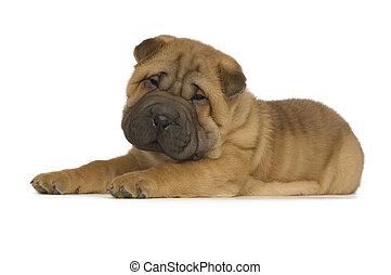 Shar-Pei Puppy isolated - Cute, small Shar-Pei Puppy laid...
