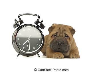Shar-Pei Puppy isolated with clock - Shar-Pei Puppy laid...