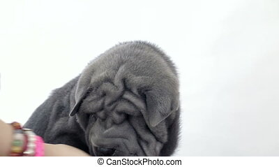 Shar Pei Puppy Petted by its Owner