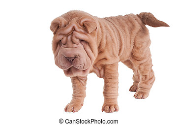 Shar-pei puppy standing isolated on white background