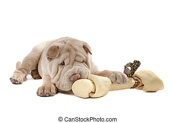 Shar-pei puppy in front of a white background eating a bone
