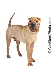 Shar-Pei    - Shar-Pei isolated on a white background