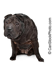 Shar-Pei in front of a white background