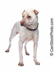 shar pei in front of a white background