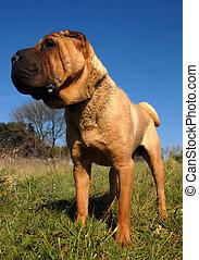 shar pei upright - chinese dog: purebred shar pei