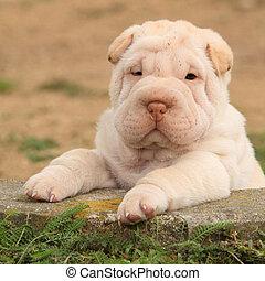shar, perrito, adorable, jardín, pei