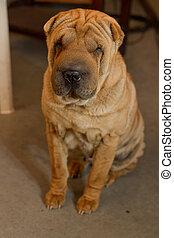 shar, sitti, meses, perrito, 5, pei, viejo