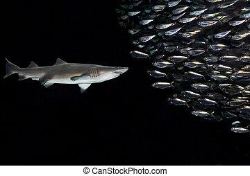 Shark and Fish - Spanish sardines and Atlantic thread...