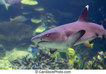 Underwater view of a shark approaching underwater, looking straight at the photographer