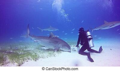 Shark diving in Bahamas. Atlantic Ocean.