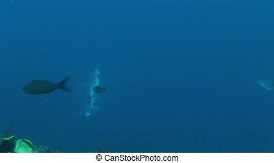 Shark diving Underwater Video Galapagos islands Pacific...