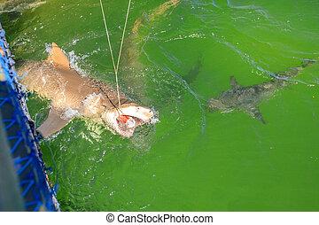 Shark eating Australia