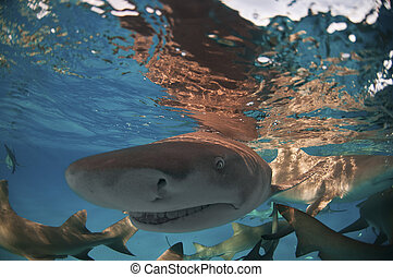 Shark escapade - A close up on a lemon shark swimming along...