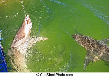 Shark feeding Australia