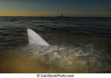 Shark fin above water in ocean with kayak in the background