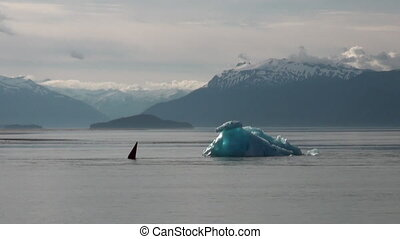 Shark fin on calm water of Pacific Ocean on background iceberg in Alaska.