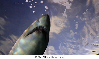 Shark From Low Angle - Looking up at a shark swimming over...