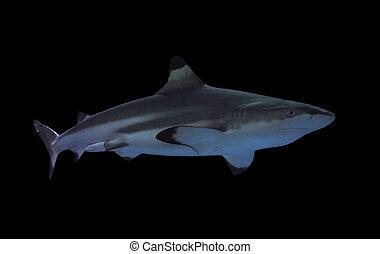 Shark full size isolated on black