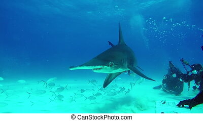 Shark Hammerhead eats from the hands of a diver underwater...
