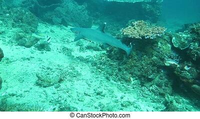Shark in a sea near the shores Indonesia. - Shark in a sea...