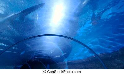 Shark in an aquarium. 4k resolution - Shark in an aquarium...