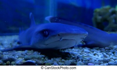 Shark in an aquarium in the water. Fish predator shark ocean...
