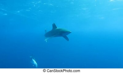 shark in Red Sea