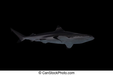 Shark isolated at the black view from down
