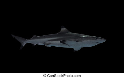 Shark isolated at the black view from right