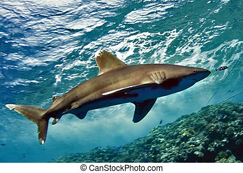 shark next to the reef - oceanic white tip shark swimming ...