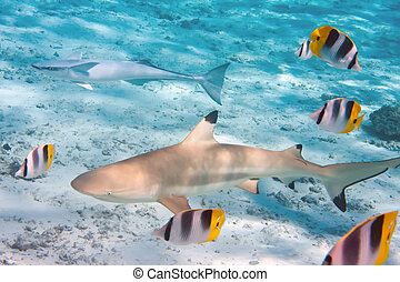 Shark over a coral reef at ocean