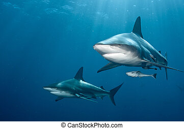 The front view of two blacktip sharks nearing, Kwa Zulu Natal, South Africa