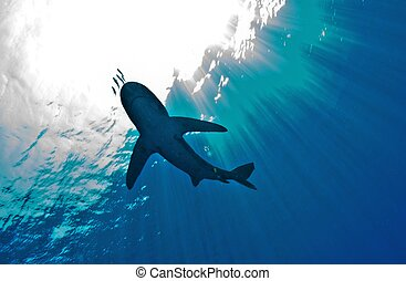 shark silhouette - silhouette of an oceanic white tip shark