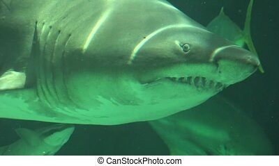Shark Swimming Underwater With Sharp Teeth And Gills